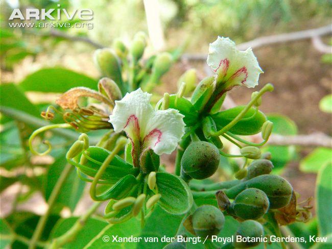 Afzelia-africana-flowers (1)