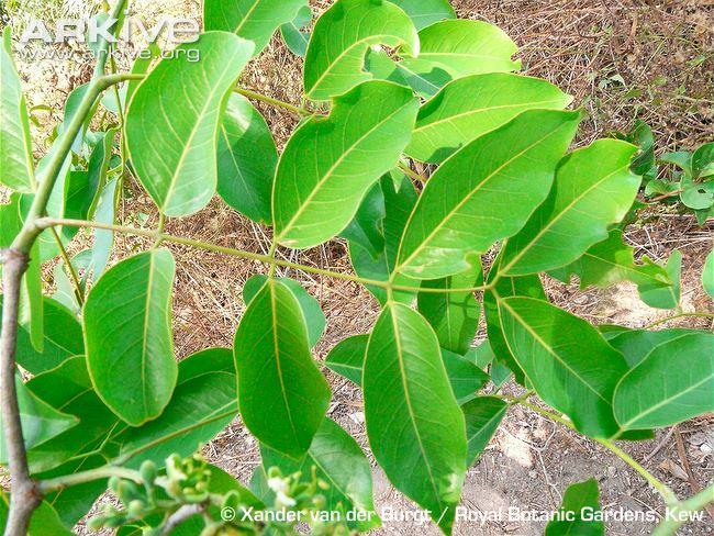 Afzelia-africana-leaves
